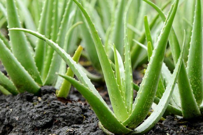 Aloe vera nelere iyi gelir