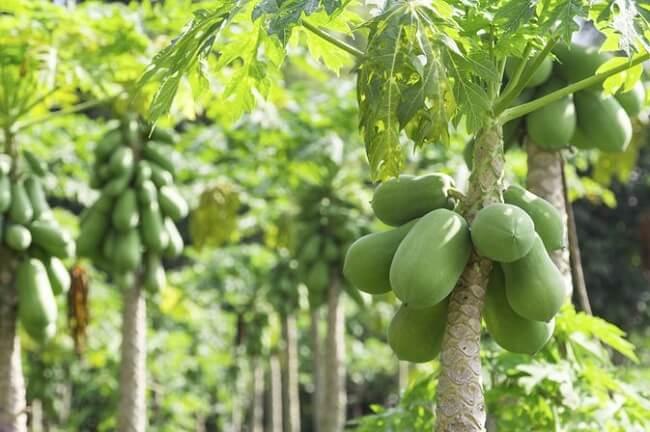 Papaya-Yapragi-Nerede-Bulunur