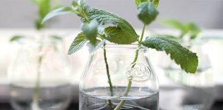 suda bitki köklendirme