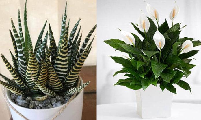 çok az bakım gerektiren ev bitkileri ve çiçekleri