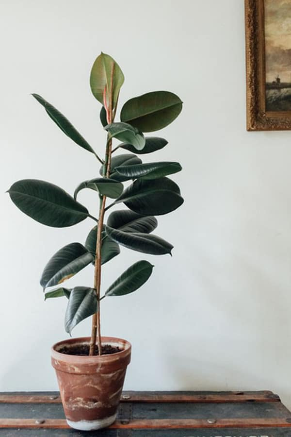 Kauçuk ağacı - İç Mekan Bitkisi