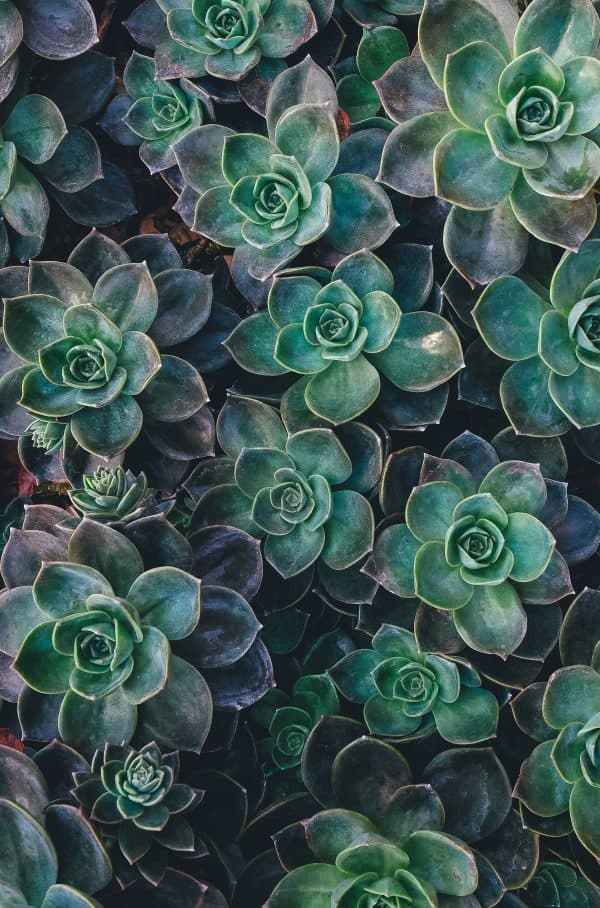 sukulent iç mekan bitkisi